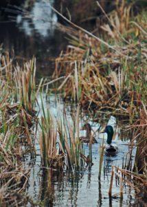 Ducks in a swamp